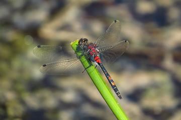 Kleine Moosjungfer, Leucorrhinia dubia