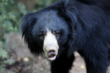 The sloth bear (Melursus ursinus), also known as the labiated bear, portrait