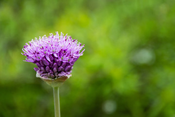 close up of allium flower on green background with shall dof