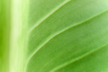 Close up green leaf for background