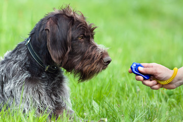 hunting dog and hand with clicker