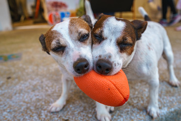 Dogs are playing a ball