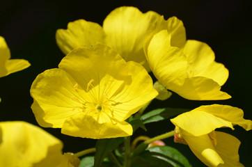 Garden with Yellow Evening Primrose Flowers in Bloom