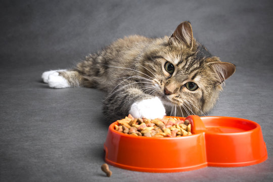 cat pulls his paw to a bowl of food