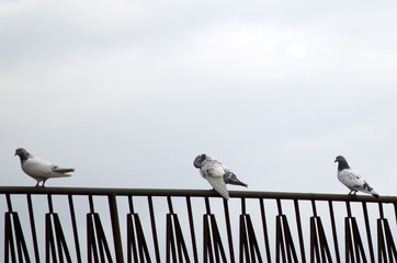 Common pigeon on a ledge