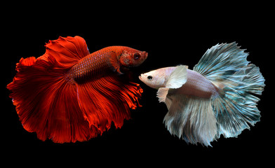Fancy red and silver Betta