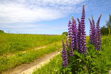 Purple flowers of lupine against the blue sky near the village road