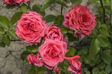 Roses, roses for the day of love, the most wonderful natural roses suitable for web design, love symbol roses