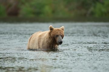 Alaskan brown bear in water