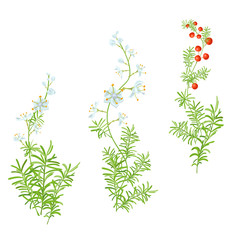 Set of green branches: white, blue flowers, buds, red berries, green branches: stem, leaves on white background. Asparagus aethiopicus, digital draw, realistic vector botanical illustration for design