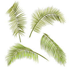 Set green leaves of tropical plant coconut palm on white background, digital draw, realistic vector botanical illustration for design