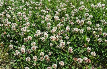 Clover - wild flowers