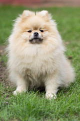 Pomeranian pomeranian beige sits contented on green grass