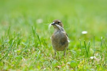 Buchfink beim Nestbau