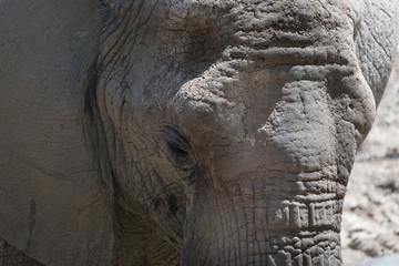 Elephant Head Closeup