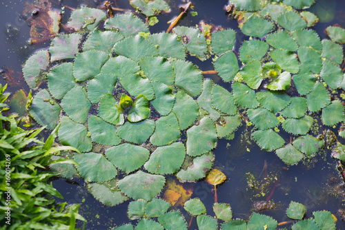 Water Caltrop Plant