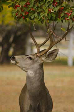 Mule Deer Buck and Crabapple Tree