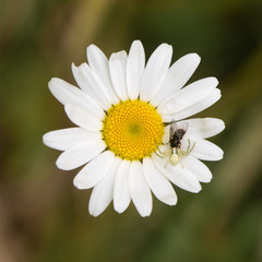 Misumena vatia crab spider with fly on daisy. Camouflaged arachnid holding prey on ox-eye daisy (Leucanthemum vulgare), in the family Asteraceae