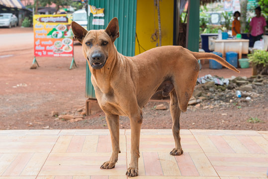 Red dog three legs at countryside,thailand,thai,asia,asian