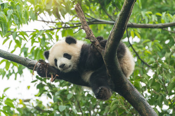 Giant panda baby over the tree.