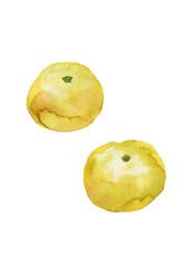 柚子 水彩イラスト