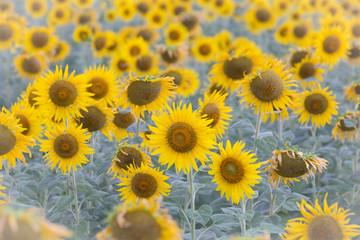 Full bloom sunflower field, natural landscape background