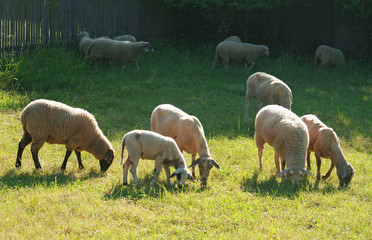 sheep of different races on a pasture