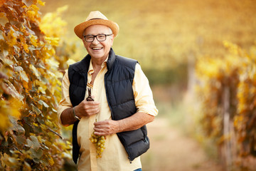 man picking mature grapes on vineyard.
