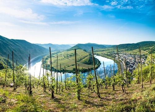 Mosel Bend - Vineyard Panorama at Bremm