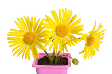 Yellow daisies in a flower pot