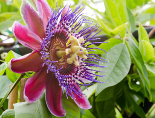 Wall Mural - Summer beauty on the balcony: Red Passiflora Alata :)