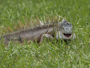 Smiling male iguana in green grass.
