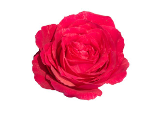 Roses on white background.