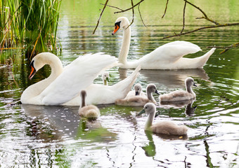 a swan family swims in a lake