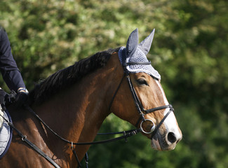 Portrait of a closeup of a show jumper sport horse during the race