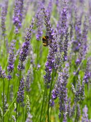 abeille et lavande