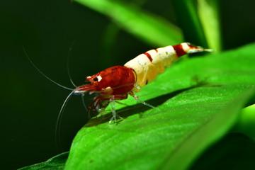 Extrem schöne rote Pinto Taiwan Bee Shadow Garnele auf Anubia