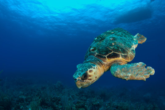 A loggerhead sea turtle swims through the deep blue ocean in Grand Cayman, Caribbean. The majestic reptile is so old he has barnacles on his shell. This unfortunate guy has lost a fin.