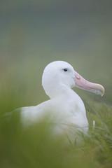 Wandering Albatross (Diomedea exulans)