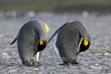 Two King Penguin (Aptenodytes patagonicus) preening on a beach in South Georgia Island, UK, South Atlantic