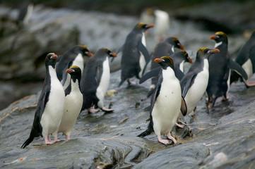 Macaroni penguin (Eudyptes chrysolophus) going to sea