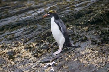 Macaroni penguin (Eudyptes chrysolophus) stands on rocks in the rain