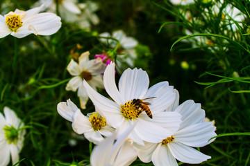 Bee fly flower white
