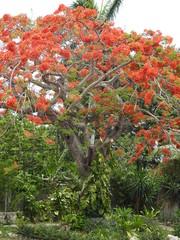 Feuerbaum in Kuba