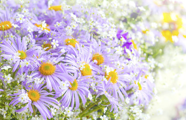 Vibrant bright purple daisy flowers. Spring and summer flowers