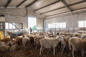 Sheep and lambs inside a farm shed