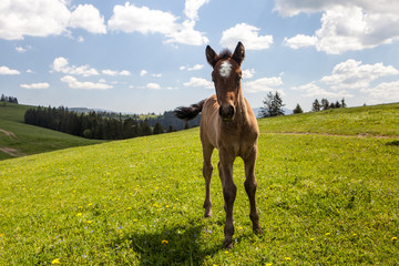 Horse colt on green pastures
