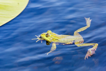 Green bullfrog in the water