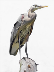 Regal Heron on white background