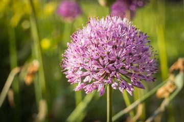 Allium, Persian onion, purple sensation, closeup
